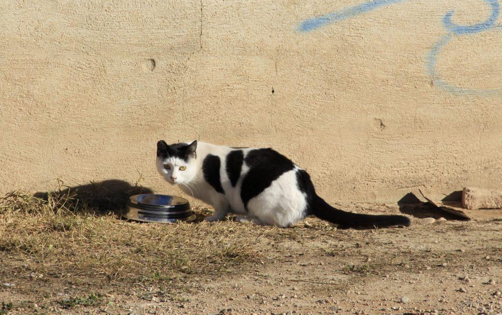 Gato de una colonia bebiendo agua
